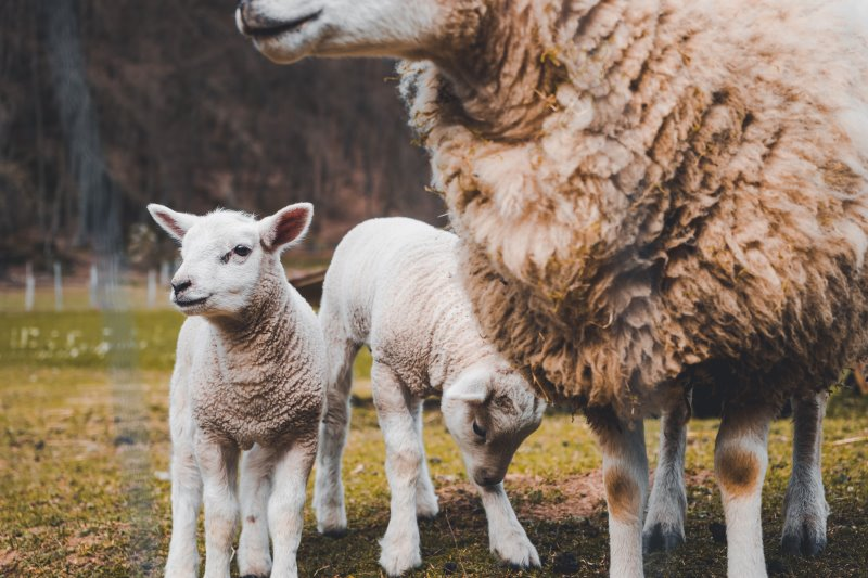 Lamm und seine Schurwolle